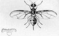 Flyfig1