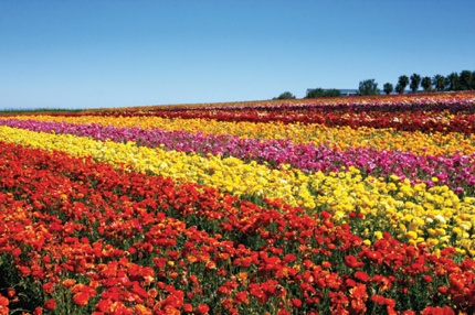 Flowerfieldcover